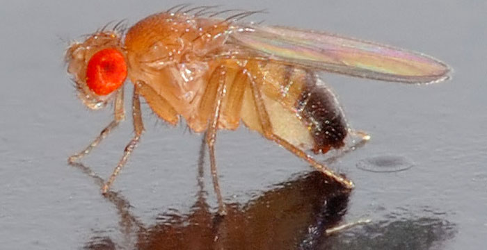 The new study identifies a set of genes responsible for the natural variation in learning and memory performance in the fruit fly. (Image courtesy: Wikimedia Commons)