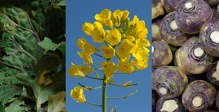 Three morphotypes of B. napus: Siberian kale (left), canola (middle), and rutabaga (right). Images of Siberian kale and rutabaga from Wikipedia Commons. Image of canola, courtesy JCP.