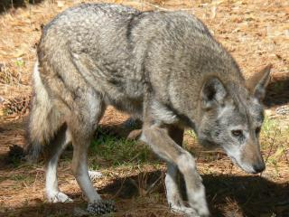 The report concludes that the Red wolf, Canis rufus (pictured) is a distinct species, and the Mexican gray wolf is a valid subspecies.