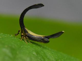 The image shows Cladonata rex on a leaf