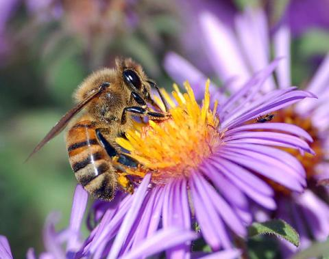 honeybee extracts nectar from flower